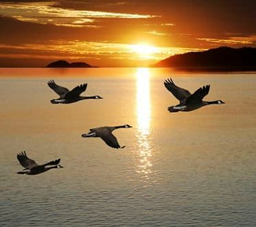 migrating canada geese in silhouette flying over lake at sunrise (XL). IC Lunchbox Jan 2019.