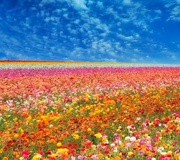 A beautiful huge image of infinite fields of flowers (ranunculus) and a big sky with beautiful clouds.